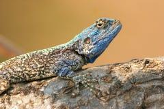 Błękitny Agama Fotografia Stock