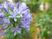 Błękitny agapanthus Zdjęcia Stock