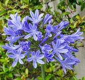 Błękitny agapanthus Zdjęcia Royalty Free