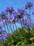 Błękitny agapanthus Zdjęcie Stock