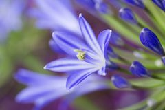 Błękitny agapantu kwiat Obrazy Royalty Free