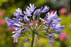 Błękitny agapantu kwiat Zdjęcia Stock