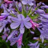 Błękitny agapantu kwiat po deszczu Fotografia Stock