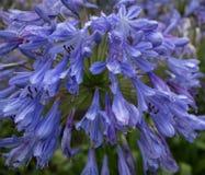 Błękitny agapantu kwiat w ogródzie - zakończenie Up Fotografia Royalty Free