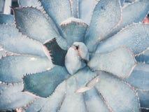 Błękitny agava zakończenie w górę tła abstrakcjonistyczna kwiecista tekstura Zdjęcia Royalty Free