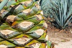 Błękitny agawa ananasa zbliżenie Zdjęcie Royalty Free