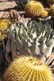 Błękitny agawa kaktus Obrazy Royalty Free