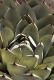 Błękitny agawa kaktus Obraz Royalty Free