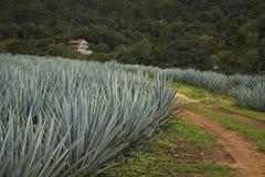 Błękitny agawy gospodarstwo rolne w Jalisco, Meksyk Fotografia Stock