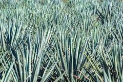 Błękitny agawy pole Zdjęcie Royalty Free