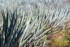 Błękitny agawy zbliżenie Obraz Royalty Free