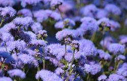 Błękitny Ageratum houstonianum, Floss kwiat Obraz Royalty Free