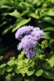 Błękitny Ageratum kwiat Zdjęcie Stock