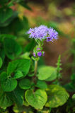 Błękitny ageratum kwiatu zbliżenie Zdjęcie Royalty Free