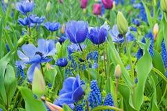 Błękitny anemon i inny kwitniemy fotografia stock