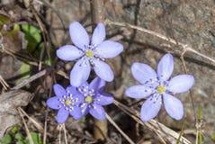 Błękitny anemon w makro- w wiośnie fotografia royalty free