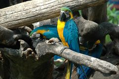 Błękitny Ara (Aronu ararauna) Zdjęcie Royalty Free