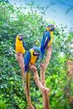 błękitny ara umieszczający fiszorków drzewa kolor żółty Obraz Stock