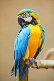 błękitny ary papugi kolor żółty Zdjęcie Royalty Free