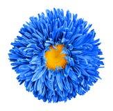Błękitny asteru kwiat z żółtą kierową makro- fotografią odizolowywającą obraz stock