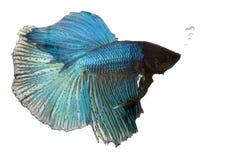 błękitny bój błękitny ryba Zdjęcie Royalty Free