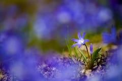 Błękitny balonowego kwiatu Platycodon grandiflorus Zdjęcia Stock