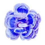 Błękitny biały goździka kwiat odizolowywający na białym tle Zakończenie bell świątecznej element projektu Zdjęcia Stock