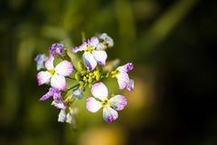 Błękitny biały rzodkiew kwiat Zdjęcia Royalty Free