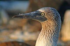 błękitny bobby błękitny Galapagos wyspy Fotografia Royalty Free