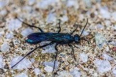 Błękitny borowinowy dauber w Brossard Fotografia Stock