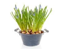 błękitny botryoides kwiatów gronowego hiacyntu muscari Obraz Royalty Free