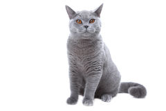 błękitny brytyjski kot Fotografia Stock