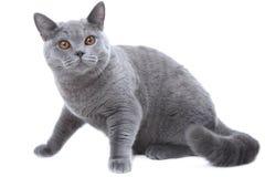 błękitny brytyjski kot Obraz Stock
