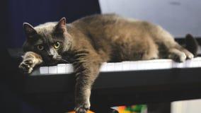 Błękitny Brytyjski kot kłama w domu przed kamerą zbiory wideo