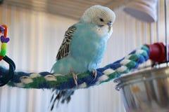 Błękitny budgie na kolorowej linowej żerdzi Fotografia Royalty Free