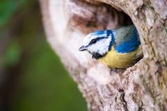 błękitny caeruleus lat parus tit Obrazy Royalty Free