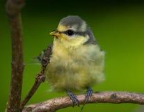 błękitny caeruleus parus tit fotografia stock