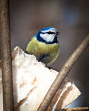 błękitny caeruleus parus tit Fotografia Royalty Free