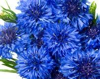 błękitny centaurea chabrowy cyanus kwiat Zdjęcia Stock