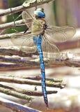Błękitny cesarza Dragonfly obraz royalty free