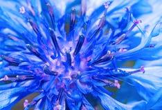 Błękitny chabrowy zakończenie up jako abstrakcjonistyczny tło Obraz Royalty Free