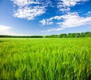 błękitny chmurny pola zieleni żyta niebo fotografia stock