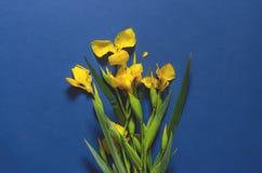 Błękitny ciemny tło z żółtymi irysami zdjęcie stock