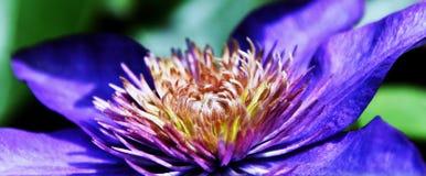 Błękitny Clematis okwitnięcie Fotografia Stock