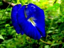 Błękitny clitoria tenetia kwiat Fotografia Stock