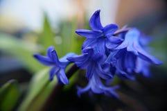 Błękitny Colour Kwitnie w ogródzie Zdjęcie Royalty Free