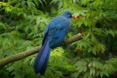 Błękitny Coua, Coua coerulea, rzadki ptak z grzebieniem, popielaty i błękitny, w natury siedlisku Couca obsiadanie na gałąź, Mada Zdjęcie Royalty Free