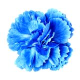 Błękitny cyan goździka kwiat na białym tle Zakończenie bell świątecznej element projektu Zdjęcie Royalty Free