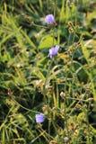 błękitny cykoriowy kwiat Fotografia Stock