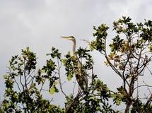 Błękitny Czapli obsiadanie na gigantycznym dębowym drzewie Fotografia Stock